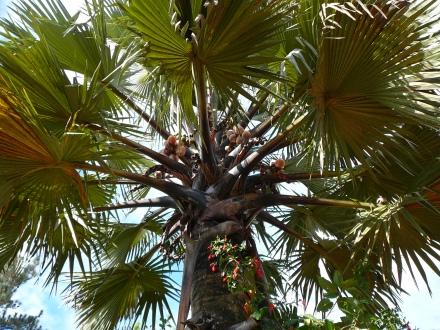 Broad Palm Tree