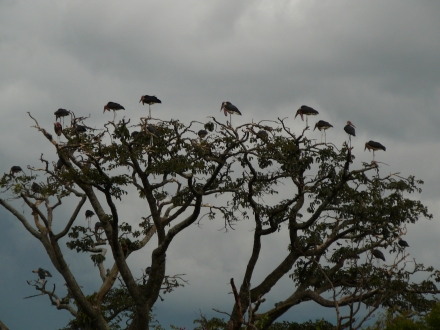 Marabou Storks Over Kisinja Road