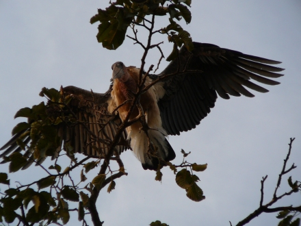 Marabou Stork in Tree