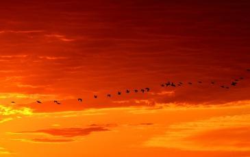 geese-sunrise